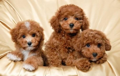 kampioen-line-miniatuur-toy-poedels-pups